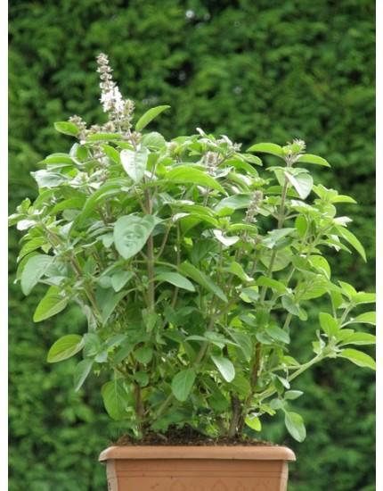 Ocimum basilicum 'Magic white'
