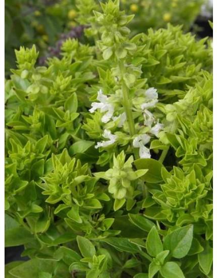 Ocimum basilicum 'Minette'