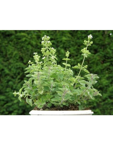 Origanum vulgare 'Hirtum'