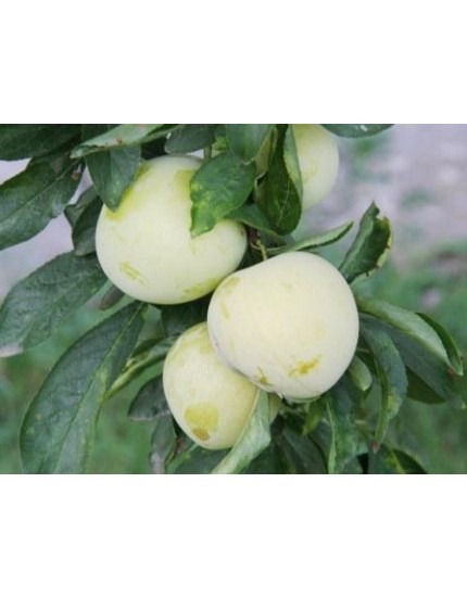 Prunus domestica 'Reine d'oullins'