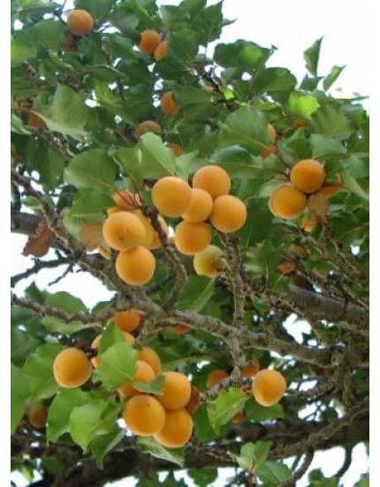 Prunus armeniaca 'Bredase'