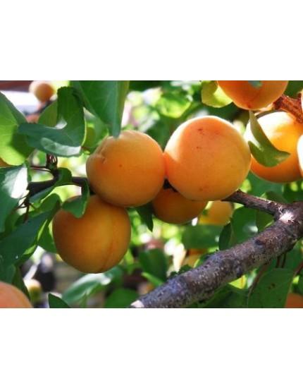 Prunus armeniaca 'Trosoranje'
