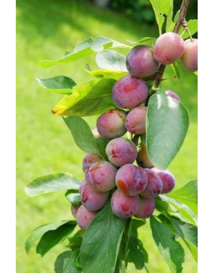 Prunus domestica 'Opal'