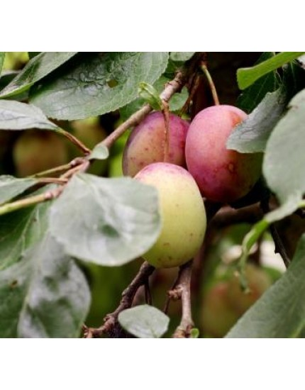 Prunus domestica Reine Victoria