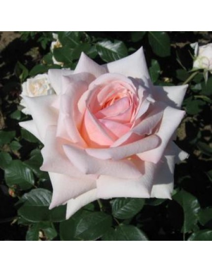 Rosa 'Barbados'