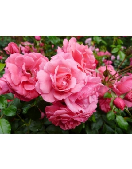 Rosa 'Bonapart'