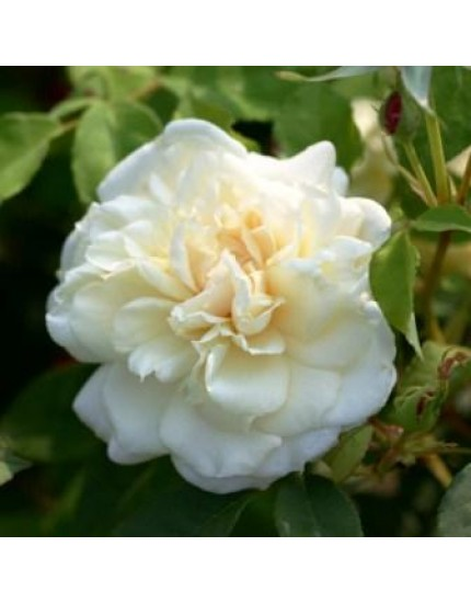 Rosa 'Madame Alfred Cariere'