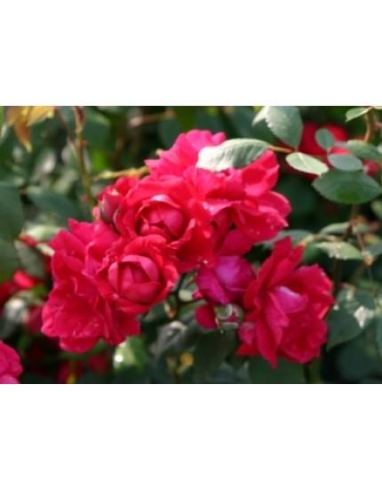 Rosa 'Paul's Scarlet Climber'