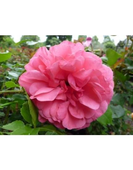 Rosa 'Rosarium Uetersen'