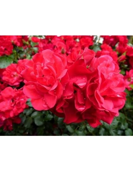 Rosa 'Rotilia'