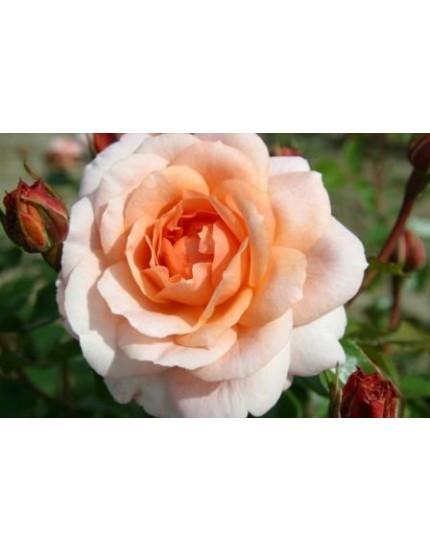 Rosa 'Schloss Eutin'