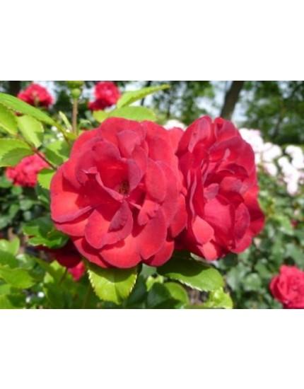 Rosa 'Stromboli'