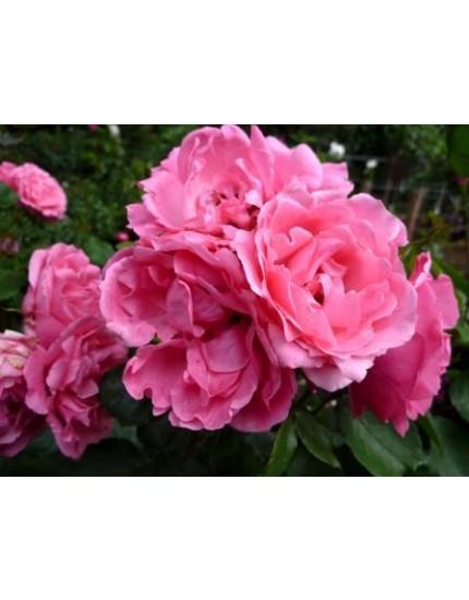 Rosa hybride 'Tom Tom'