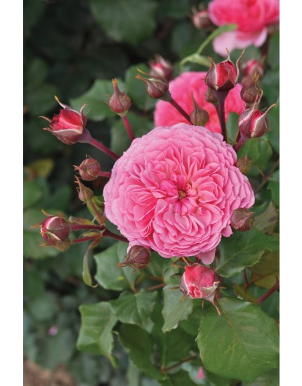 Rosa  'Theo Clevers'