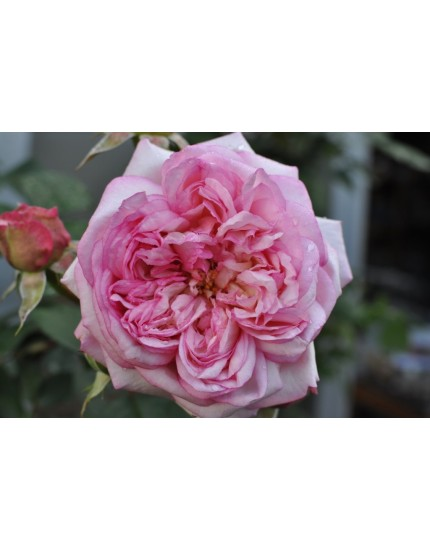 Rosa 'Rose vom Ruhrtal'