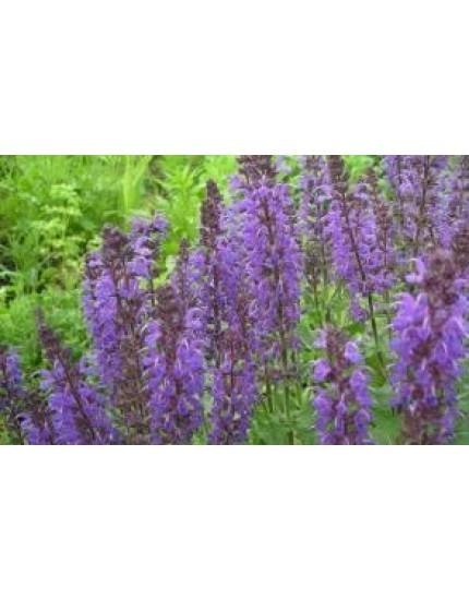 Salvia nermorosa 'Blaukonigin'