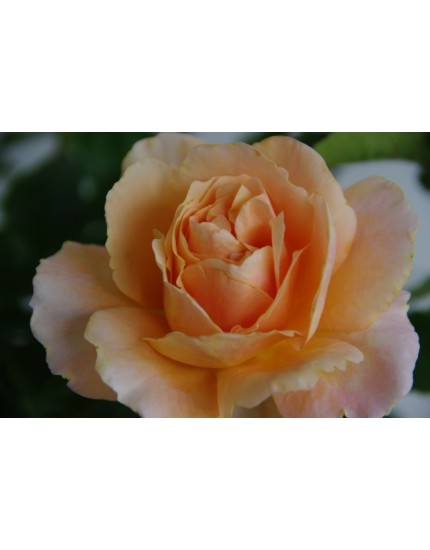 Rosa 'Sängerhäuser Jubiläumsrose'