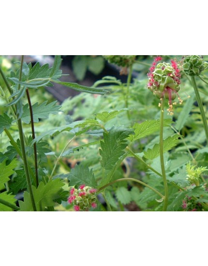 Sanguisorba minor