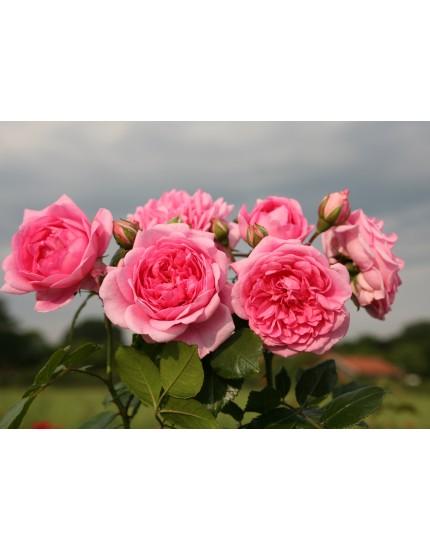 Rosa 'Sweet Laguna'