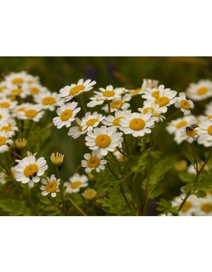 Tanacetum cinerariifolium