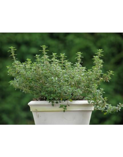 Thymus citriodorus 'Lemon green'