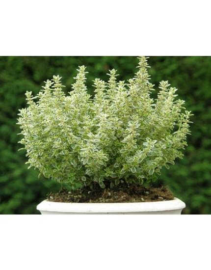Thymus citriodorus 'Lemon variegated'