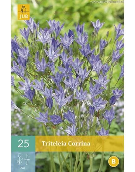 Triteleia 'Corrina'