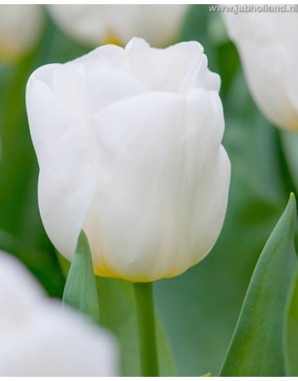 Tulipa 'Calgary'