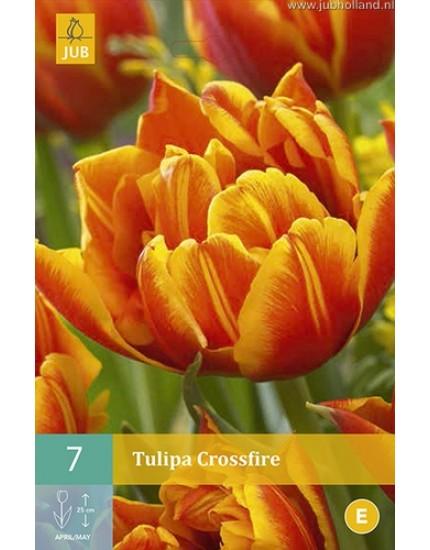 Tulipa 'Crossfire'