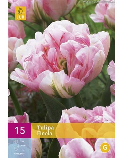 Tulipa 'Finola'