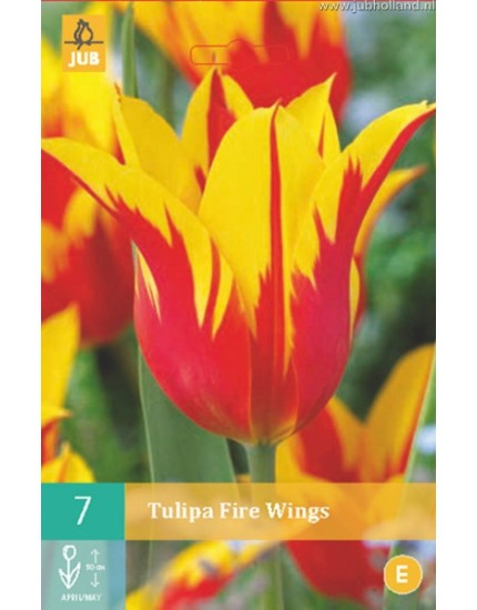 Tulipa 'Fire Wings'