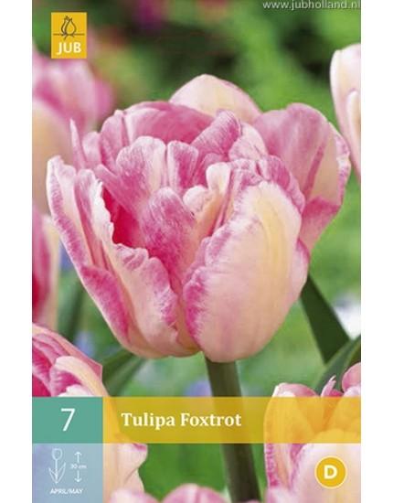 Tulipa 'Foxtrot'