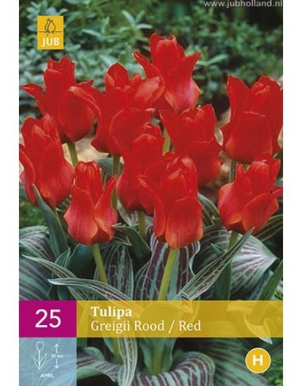 Tulipa 'Greigii'