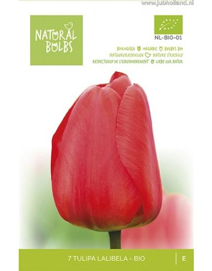 Tulipa 'Lalibela' biologisch