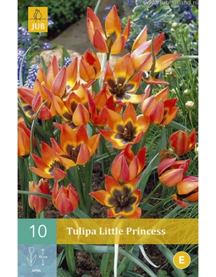 Tulipa 'Little Princess'