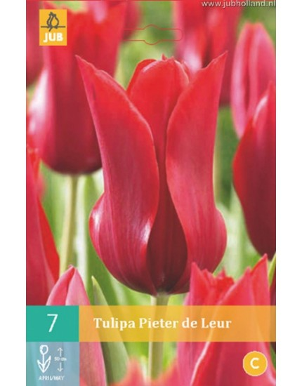Tulipa 'Pieter de Leur'