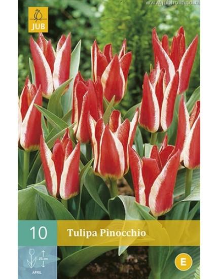 Tulipa 'Pinocchio'