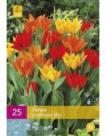 Tulipa 'Praestans' mix