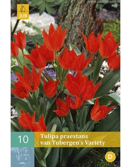 Tulipa praestans 'van Tubergen's Variety'
