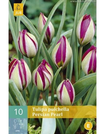 Tulipa pulchella 'Persian Pearl'