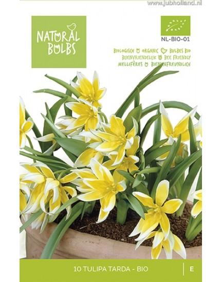 Tulipa 'Tarda' biologisch