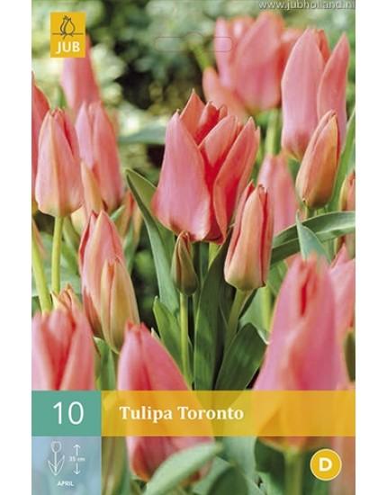 Tulipa 'Toronto'
