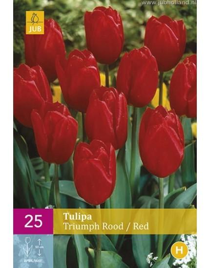 Tulipa 'Triumph' rood