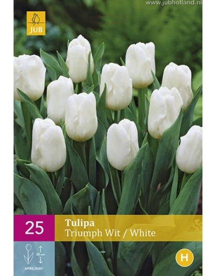 Tulipa 'Triumph' wit