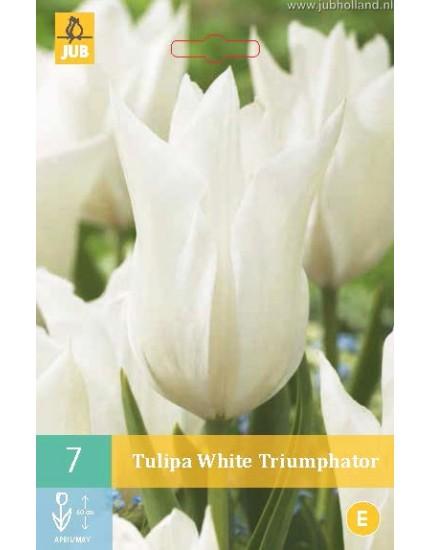 Tulipa 'White Triumphator'
