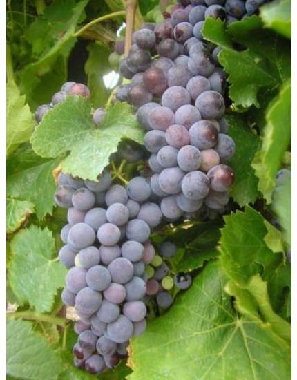 Vitis vinifera 'Rembrandt'