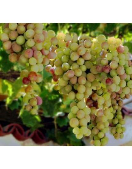 Vitis vinifera 'Vroege van der Laan'