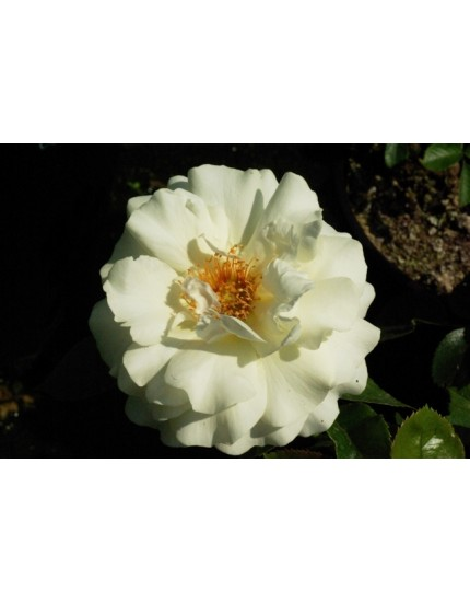 Rosa 'White Meilove'