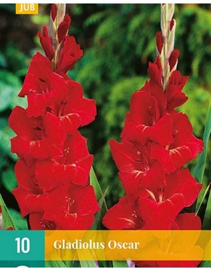 Gladiolus 'Oscar'