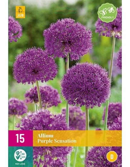Allium 'Purple Sensation'